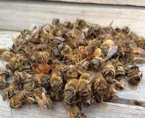 На фото тела умерших насекомых, из которых делают различные народные средства.