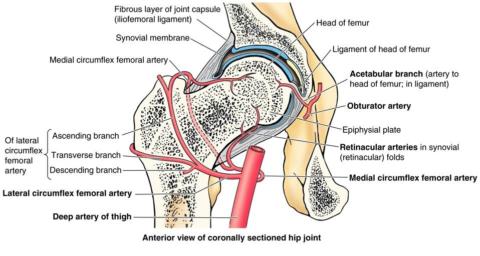 Схема артериальной сети тазобедренного сустава.
