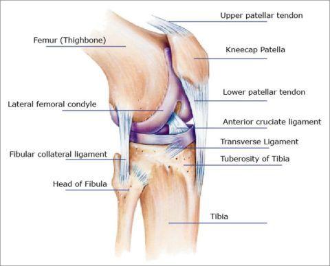 Здоровые сочленения – важный фактор полноценной жизни человека (схема строения колена)