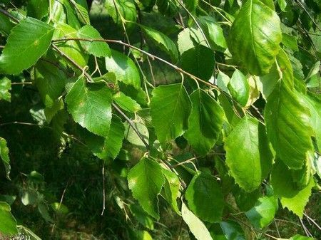 Березовые листья для компресса