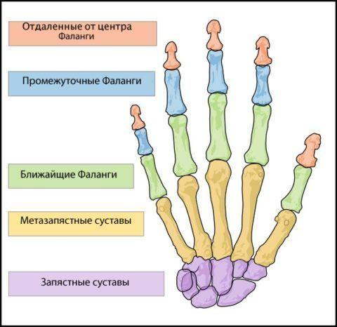 Строение кисти человеческой руки