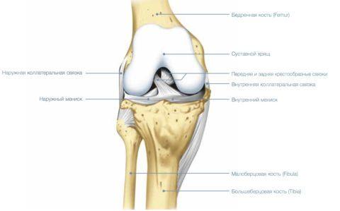 Анатомическое расположение фиксирующего аппарата колена