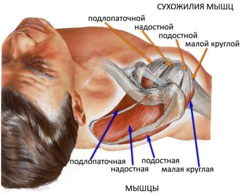 При ушибе плечевого сустава могут повреждаться кожа, подкожная клетчатка, мышцы и сухожилия, но не костные ткани.