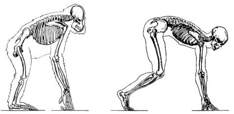Скелет гориллы и человека