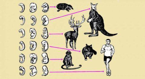 Стадии развития некоторых видов позвоночных и человека