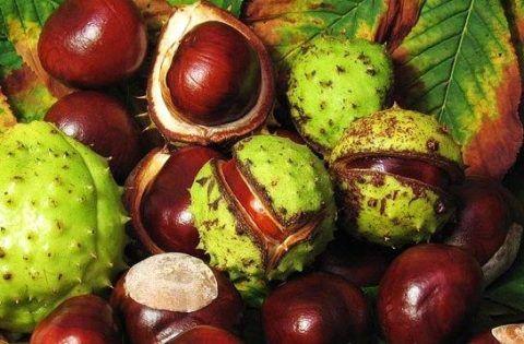 На фото плоды конского каштана