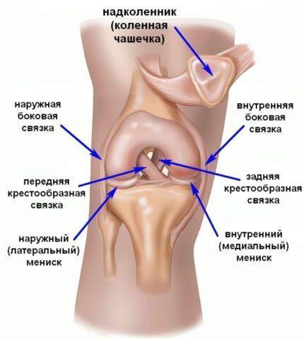 Строение колена.