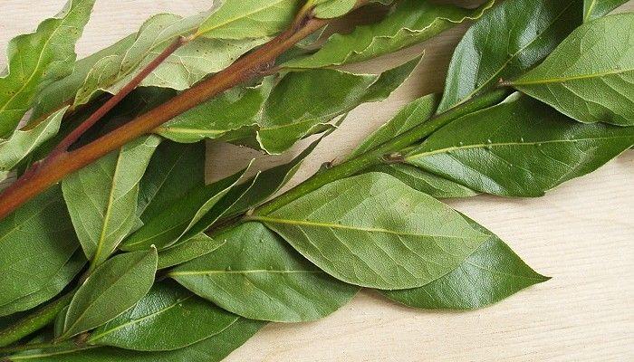 Чтобы приготовить лечебные средства, используют высушенные лавровые листья.