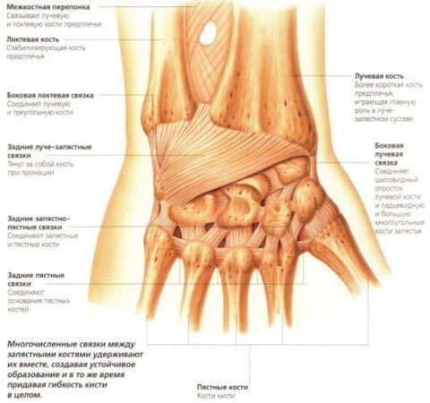 Анатомическое строение запястья. На картинке подробно описаны названия связок и костей и место их локализации.