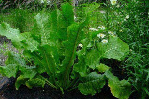 Для оказания общеукрепляющего эффекта можно добавлять корень хрена в пищу.