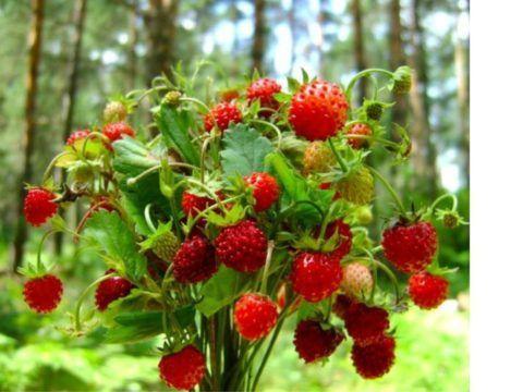 Для приготовления чая следует брать только листья дикорастущей лесной земляники.