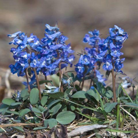 Хохлатка в период цветения.