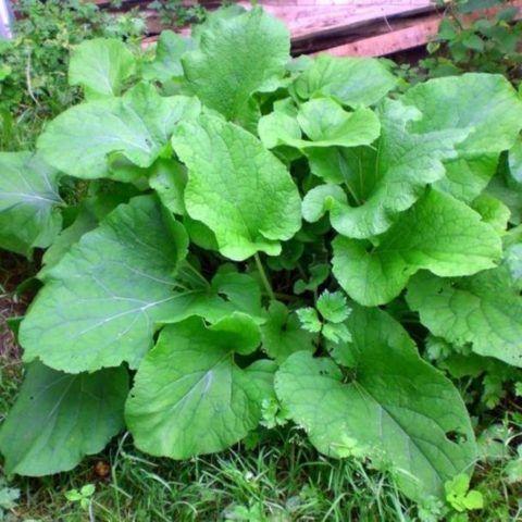 Лопух – практически уникальное растение для лечения множества различных недугов.