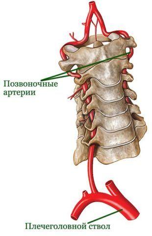 На фото – строение вертебральных артерий