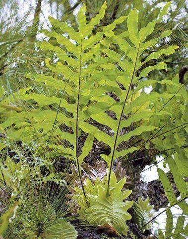 Растение в период роста.