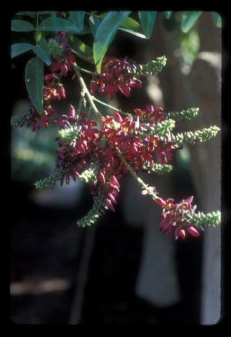 Растение в период цветения.