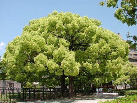 В Китае камфора считается деревом жизни. На картинке растение, из ствола которого добывают камфору