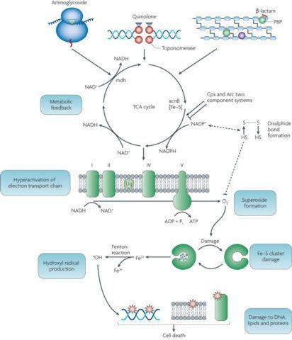 На картинке наглядно представлен общий механизм действия бактерицидных антибиотиков.
