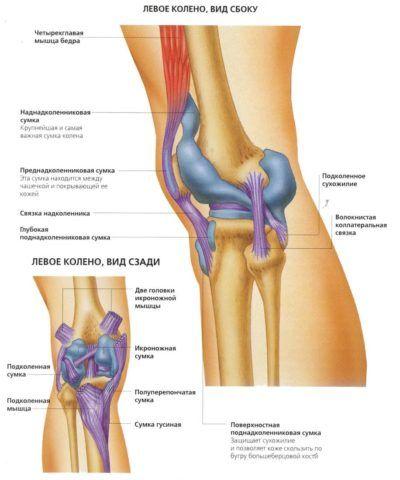 Связки и суставы левого колена.