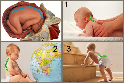 Этапы формирования физиологических изгибов позвоночного столба у человека