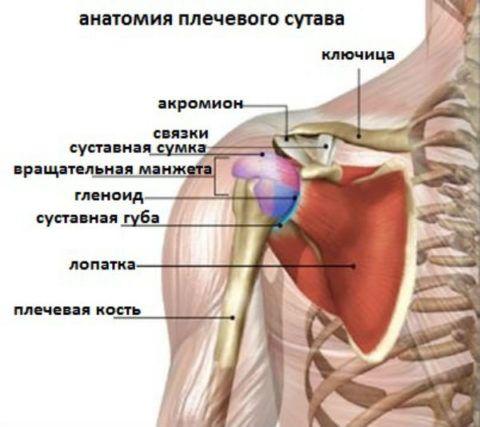 Анатомия плечевого сочленения