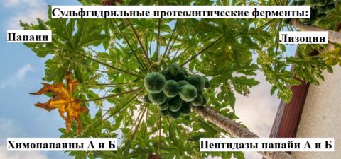 Лекарственные вещества в млечном соке зелёных плодов папайи (дынного дерева)