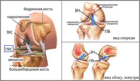 Анатомия передней крестообразной связки колена