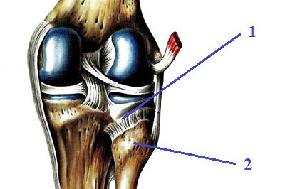 Межберцовый (правый) – колено сзади