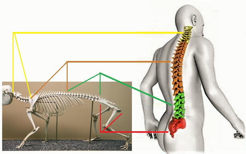 Строение позвоночника у капского дамана (азиатского грызуна) и у человека схожи
