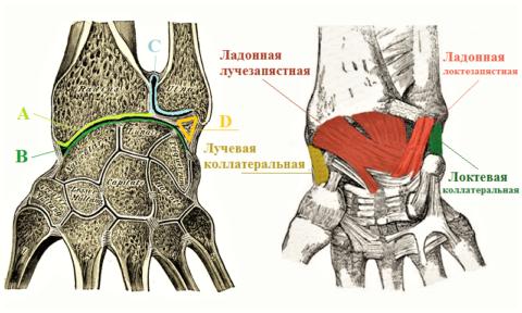 Лучезапястные суставные поверхности (продольный распил) и часть стабилизирующих связок
