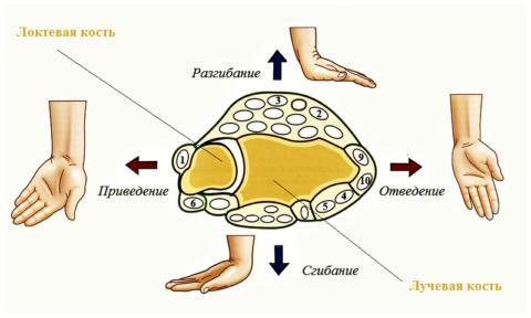 Расположение мышц лучезапястного сочленения (поперечный срез)