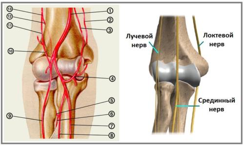 Локтевой сустав: строение артериальной сети и прохождение основных нервов руки