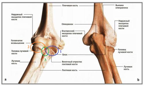 Кости и сочленения правого локтя: вид спереди (a) и сзади (b)