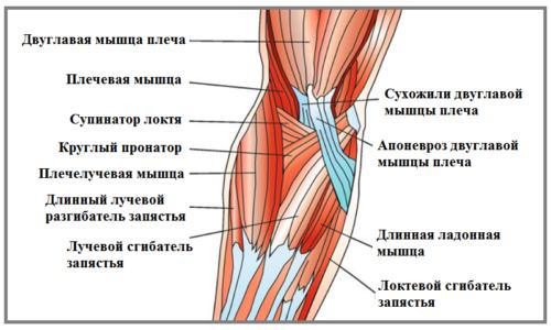 Схема строения локтевого сустава: мышцы правой руки (вид спереди)