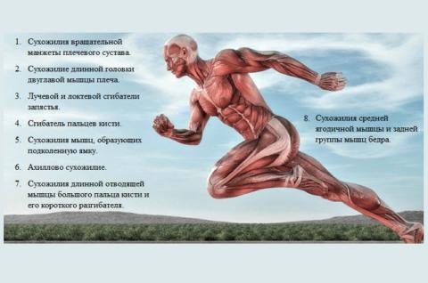 Частота воспалительно-дистрофических поражений сухожилий у лиц старше 40 лет (статистика ВОЗ)