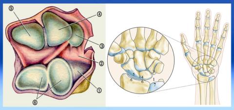 Строение лучезапястного сустава: «раскрытый» вид сверху-изнутри и вид спереди (правая рука)