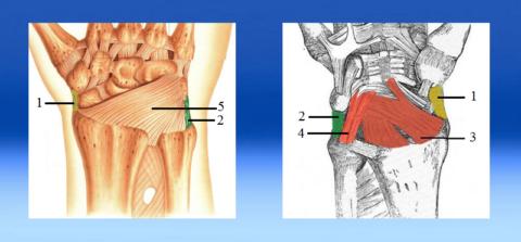 Связки со стороны тыльной части кисти и ладони (правая рука)