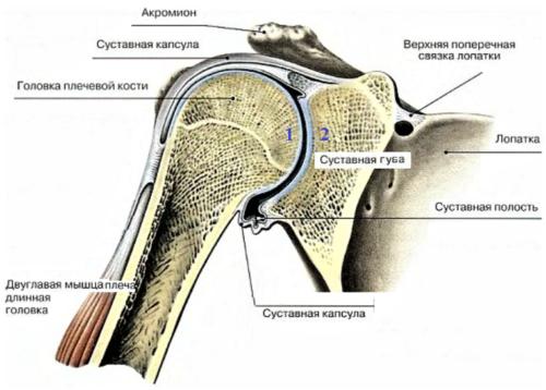 Соединение головки плеча и лопатки врачи называют гленохумеральным суставом