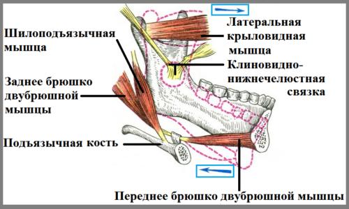 Структуры, позволяющие нижней челюсти работать как рычаг (по Воробьеву)